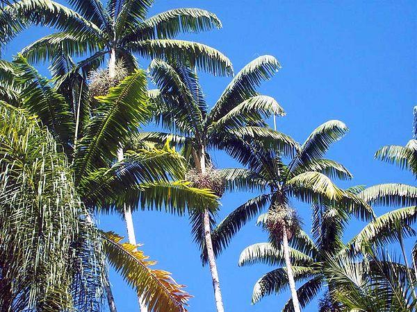 Veitchia Joannis Palm
